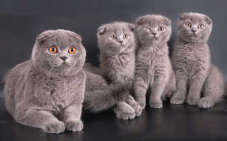 Уши шотландских вислоухих кошек