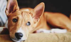 43 собаки которые не линяют: породы без запаха и шерсти, характер, особенности