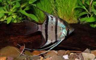 Как размножаются рыбки скалярии