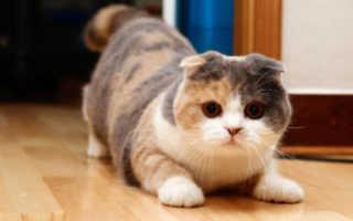 Как определить окрас шотландского котенка