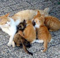 Послеродовая эклампсия у кошек: симптомы и причины развития, диагностика и лечение