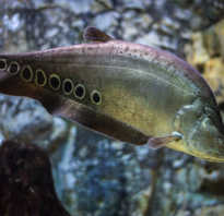 Рыбка индийский нож