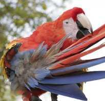 Что делать если попугай выщипывает перья