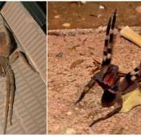 Строение бразильского паука
