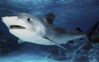Акула это животное или нет