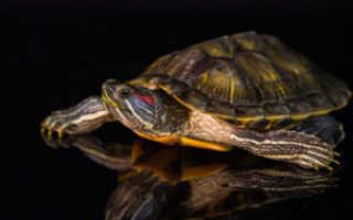 Как рожают черепахи красноухие