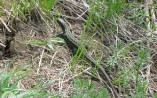 Место обитания ящериц