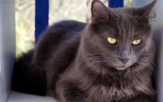 Порода кошек нибелунг: описание, уход, сколько стоит котенок, фото