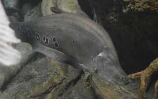 Индийский нож рыба фото