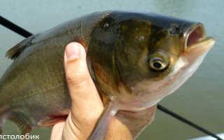 Как выглядит рыба толстолобик