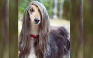 Собака с длинными волосами порода