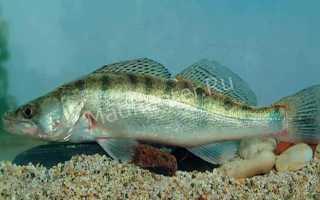 Судак порода рыб