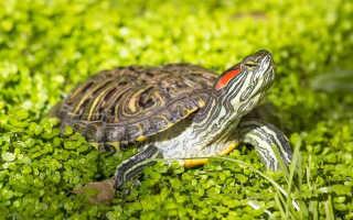 Красноухая черепаха характеристики