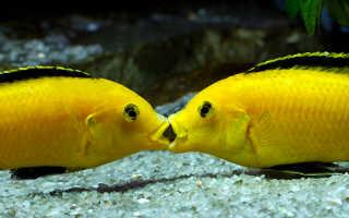 Рыбки еллоу совместимость