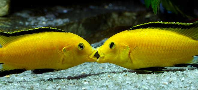 Аквариумная рыбка еллоу