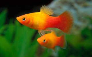 Аквариумная рыбка пецилия: содержание, уход и размножение, совместимость с другими рыбами