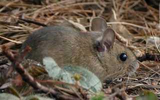 Описание мыши для детей