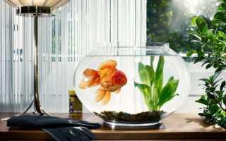 Самые красивые золотые рыбки