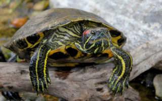 Что нужно для террариума красноухой черепахи