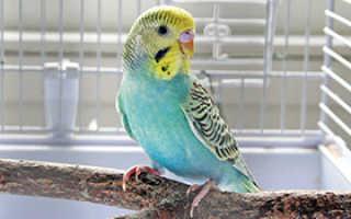 Сколько стоит волнистый попугай в россии
