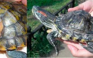 Почему у черепах