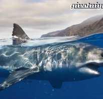 Большая белая акула кархародон продолжительность жизни