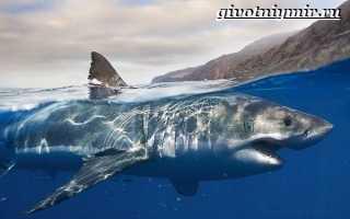 Белая акула реферат