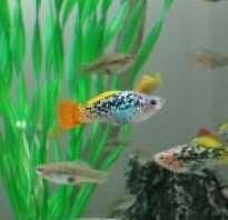 Содержание живородящих рыбок
