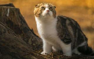 Хвост у шотландского кота