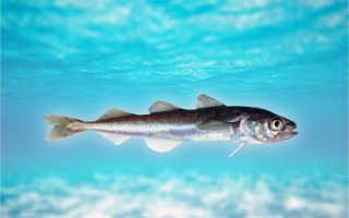 Сообщение о рыбе сайка