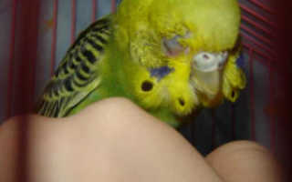 Если попугай чихает
