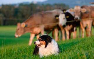 Самые лучшие сторожевые породы собак