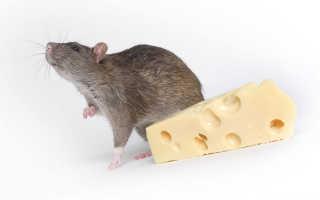 Крыса это зверь или животное