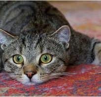 Цирроз печени или печеночная недостаточность у кошек: симптомы и лечение