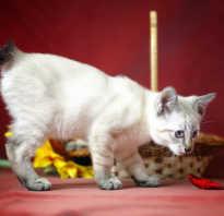 Меконгский бобтейл: описание породы, темперамента, цен на котят