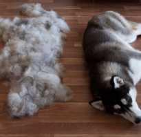 Собака сильно линяет: что делать и как избавиться от запаха псины