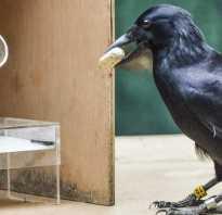 Кто из ученых считает ворон