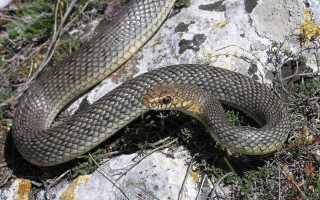 Какие змеи есть в крыму