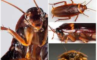 Какие глаза у таракана