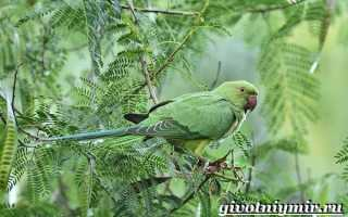 Ожереловые попугаи фото
