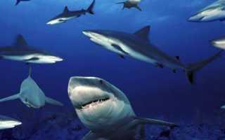 Самая маленькая акула в мире википедия