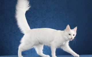 Цена ангорской кошки
