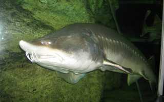 Рыба калуга фото рекорд