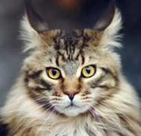 Мейнкун кот характеристика породы