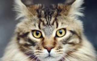 Легенды о самой большой домашней породе кошек Мейн-кун