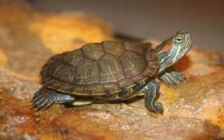 Все виды сухопутных черепах