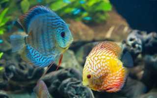 Дискус рыбка фото