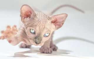 Сколько живут кошки породы сфинкс