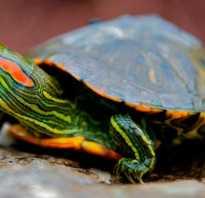 Пресноводная красноухая черепаха в домашних условиях