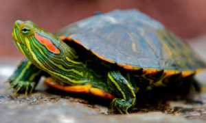 Какие водоросли для красноухих черепах